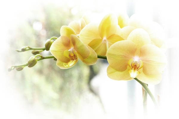 Photograph - Yellow Moth Orchids In The Sun by Mother Nature