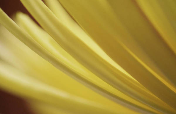 Photograph - Yellow Mum Petals by Larah McElroy