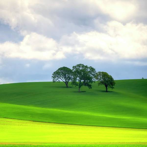 Photograph - Yellow Mustard And Trees by Jerry Sodorff