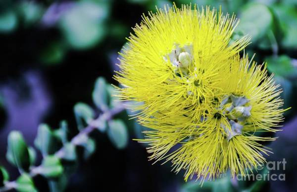 Photograph - Yellow Ohia Flowers In Hawaii by D Davila