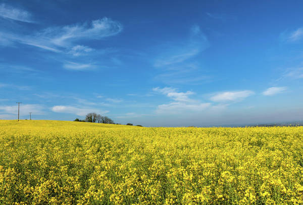 Photograph - Yellow Oilseed Rape With Vivd Blue Sky by Maggie McCall