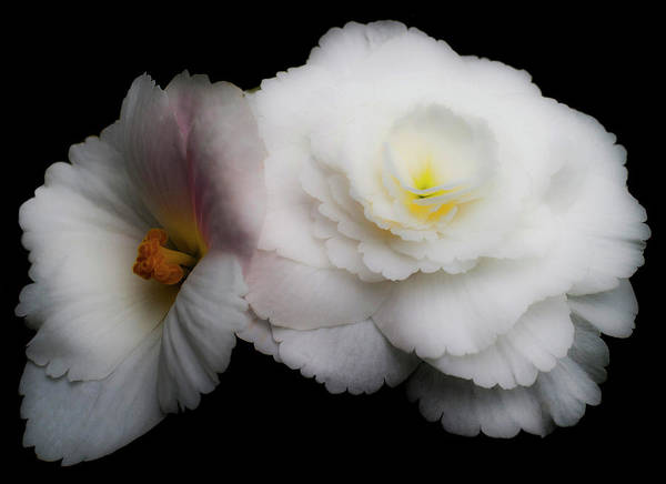 Photograph - Yellow On White  by Lee Santa