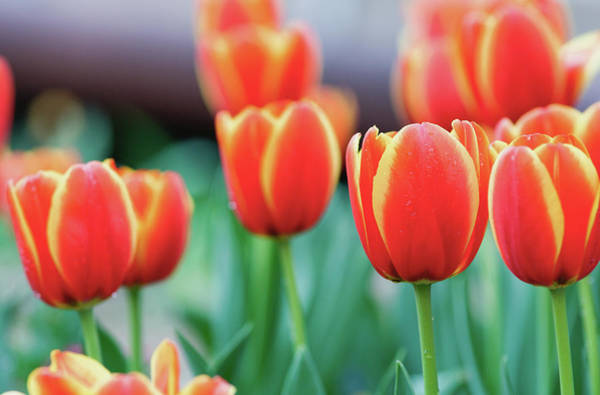 Photograph - Yellow Orange Tulips 3817 by Rospotte Photography