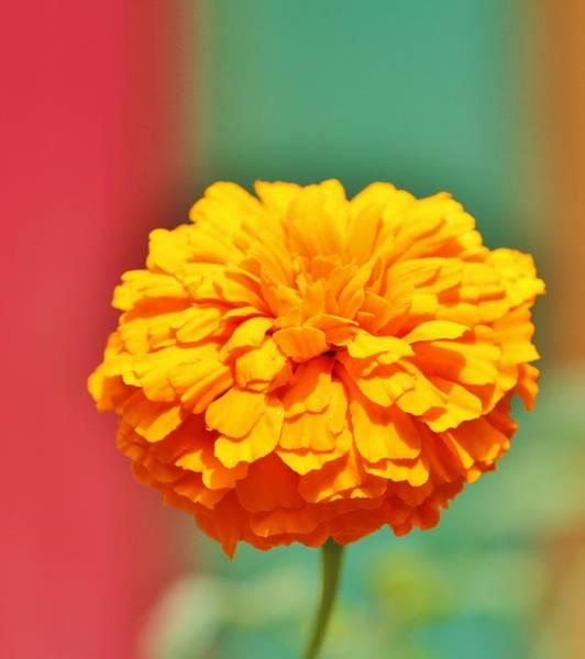 Photograph - Yellow Orange Zinna by Cynthia Guinn
