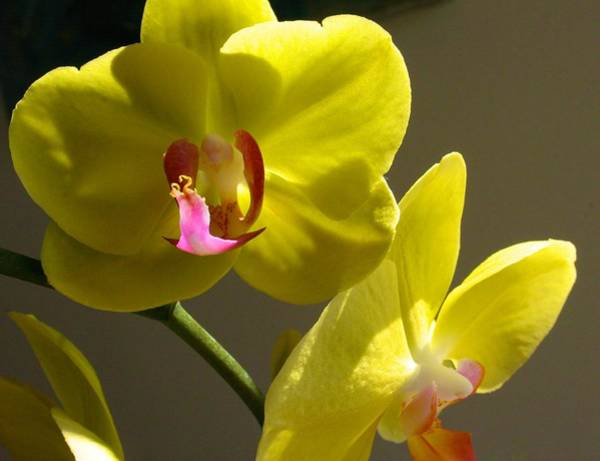 Photograph - Yellow Orchid For Jane by Polly Castor