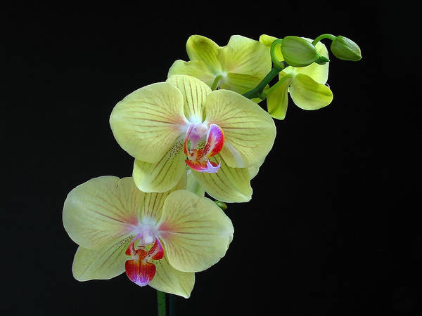 Photograph - Yellow Orchidee by Juergen Roth