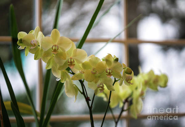 Wall Art - Photograph - Yellow Orchids Flourish by Mike Reid