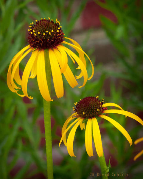 Photograph - Yellow Pair by David Coblitz