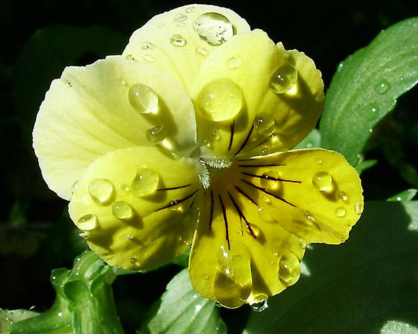 Photograph - Yellow Pansy by Anthony Jones