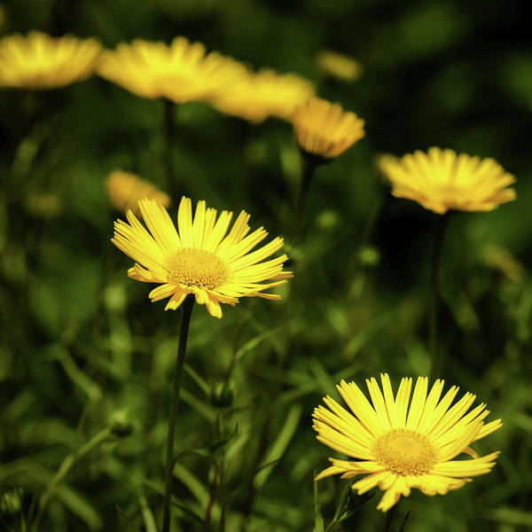 Photograph - Yellow Petals by Nick Bywater