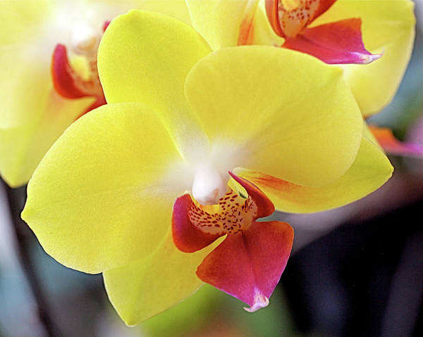 Photograph - Yellow Phalaenopsis Orchids by Rona Black