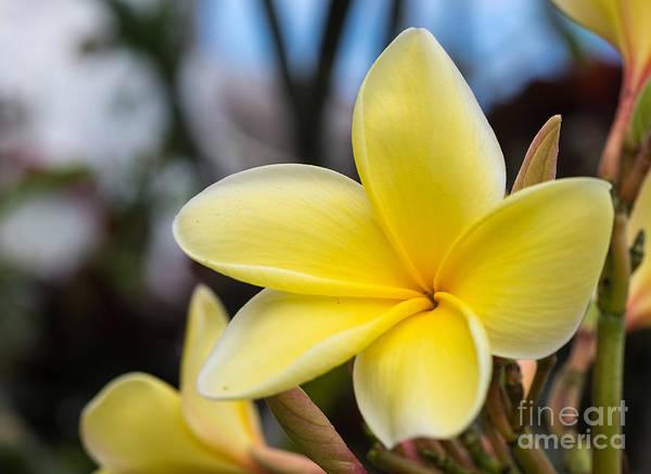 Photograph - Yellow Plumeria by Les Palenik