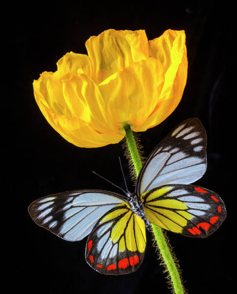 Photograph - Yellow Poppy And Stunning Butterfly by Garry Gay