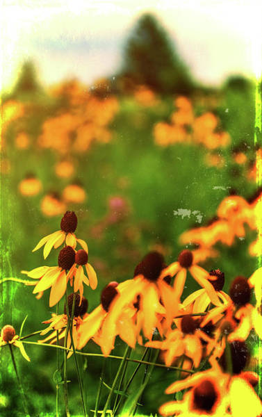 Mixed Media - Yellow Prairie Coneflowers by Dan Sproul