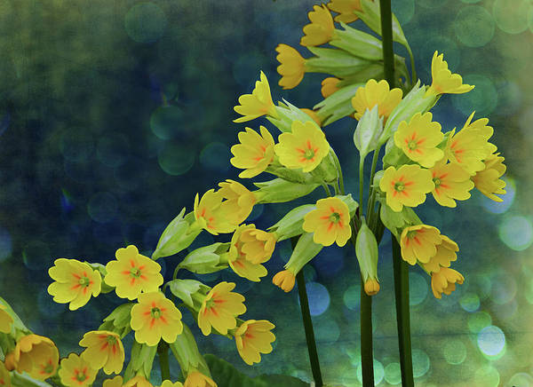 Digital Art - Yellow Primulas In Bloom by Richard Farrington