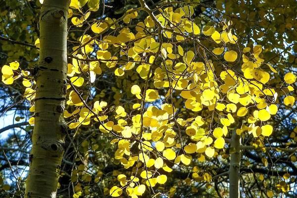 Photograph - Yellow Quaking Aspen by NaturesPix