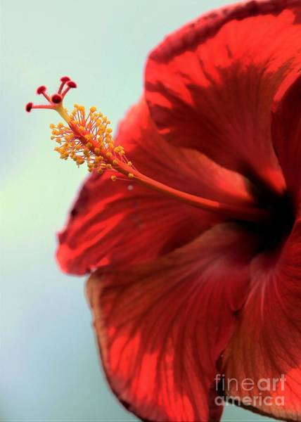 Mallow Family Wall Art - Photograph - Yellow Red And Coral Hibiscus Profile by Diann Fisher