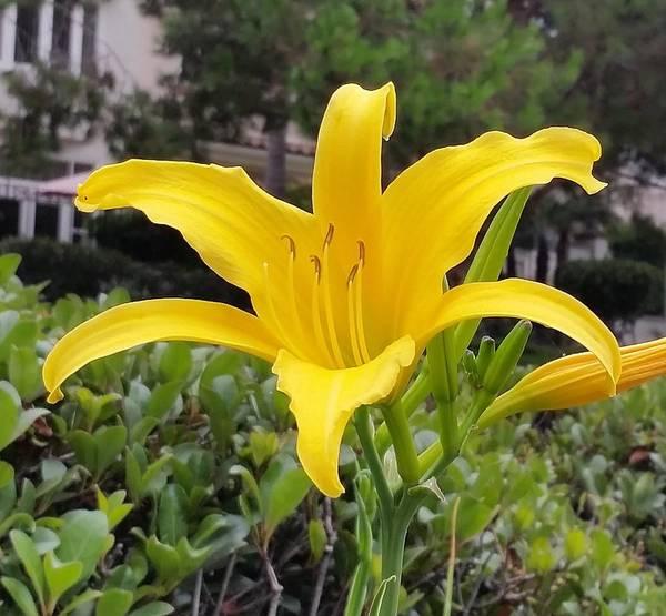 Photograph - Yellow Renaissance Lily by Karen J Shine