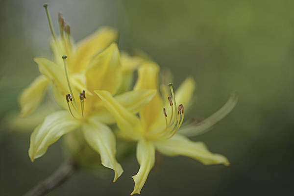 Photograph - Yellow Rhodo by Jacqui Boonstra
