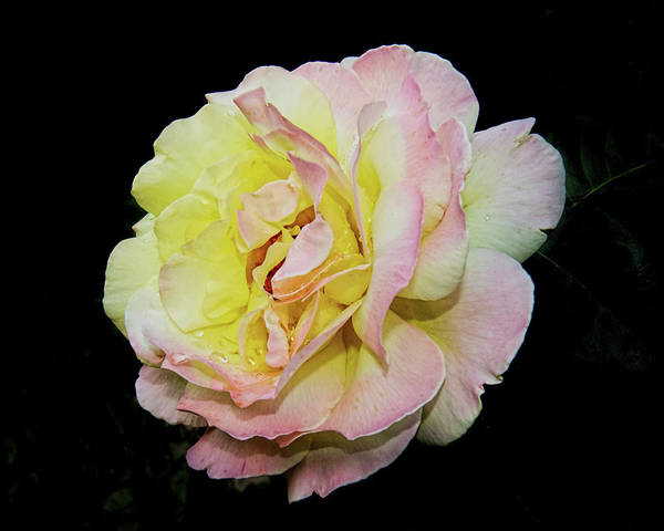 Photograph - Yellow Rose -01 by Rob Graham