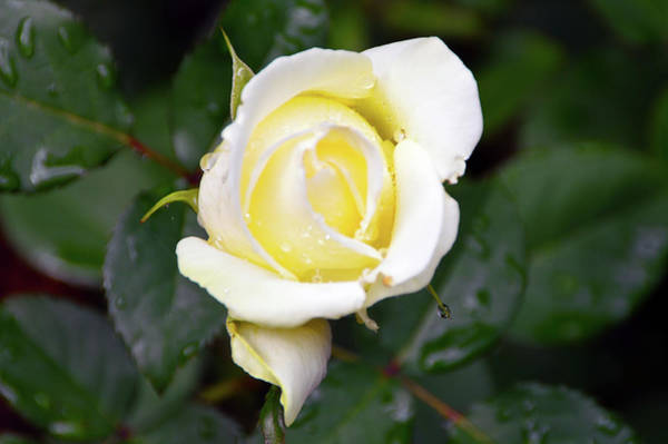 Photograph - Yellow Rose 1 by Brian O'Kelly