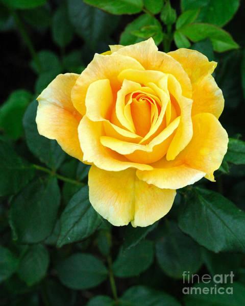 Wall Art - Photograph - Yellow Rose 2 by Edward Sobuta