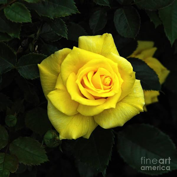 Wall Art - Photograph - Yellow Rose 3 by Edward Sobuta