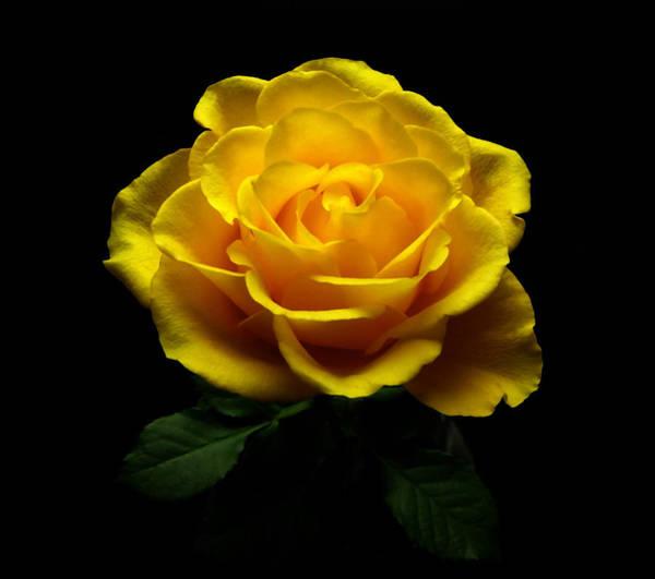 Greetingcards Photograph - Yellow Rose 4 by Johanna Hurmerinta