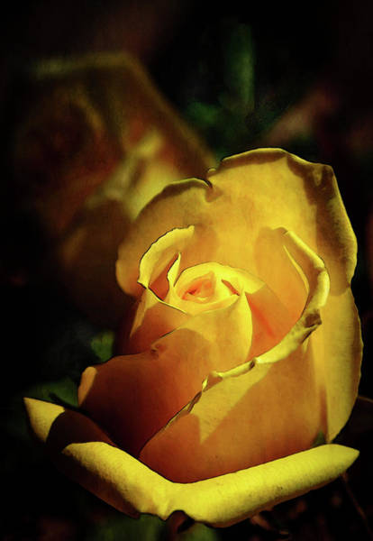 Photograph - Yellow Rose 7651 Dp_2 by Steven Ward