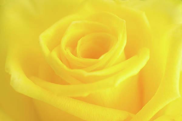 Photograph - Yellow Rose  by Andy Myatt