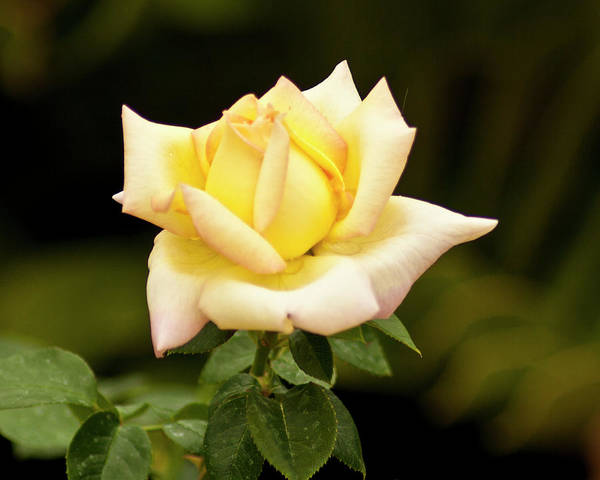 Photograph - Yellow Rose by Bill Barber