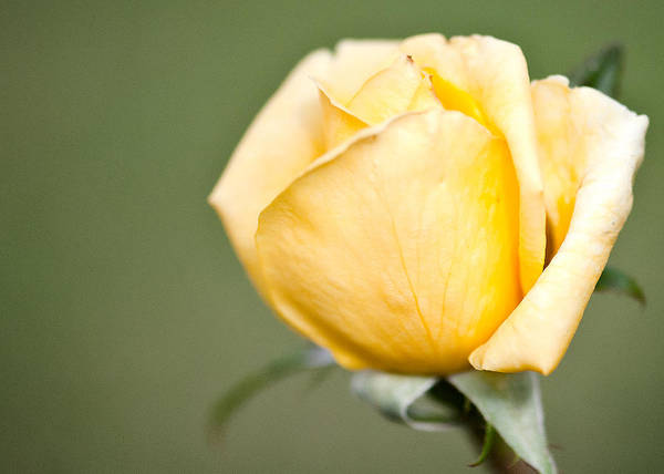 Wall Art - Photograph - Yellow Rose by Bill Perry