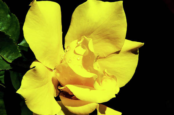 Wall Art - Photograph - Yellow Rose by Camille Lopez