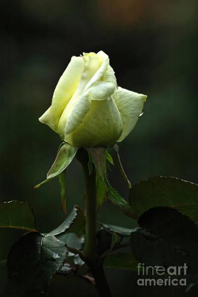 Wall Art - Photograph - Yellow Rose by Edward Sobuta