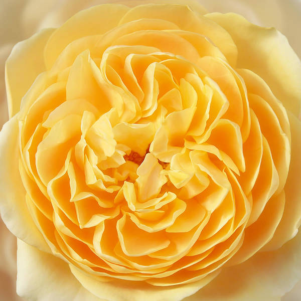 Photograph - Yellow Rose Heart by Gill Billington