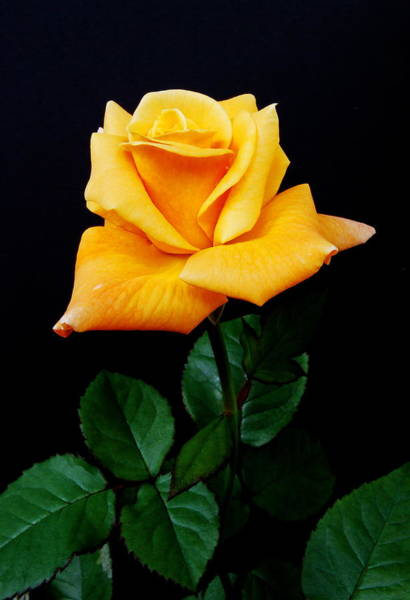 Hybrid Rose Photograph - Yellow Rose by Michael Peychich