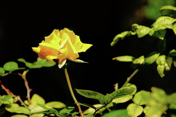 Photograph - Yellow Rose  by Mike Murdock