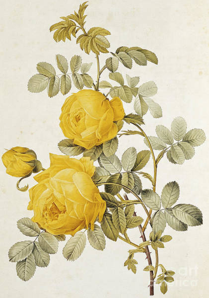 Redoute Wall Art - Painting - Yellow Rose by Pierre Joseph Redoute