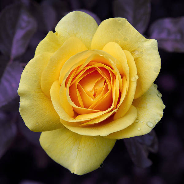 Yellow Rose Square Art Print