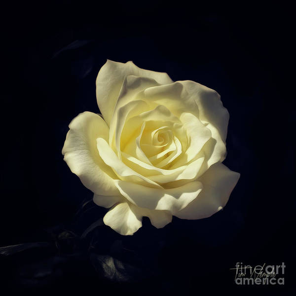 Photograph - Yellow Rose by Tim Wemple