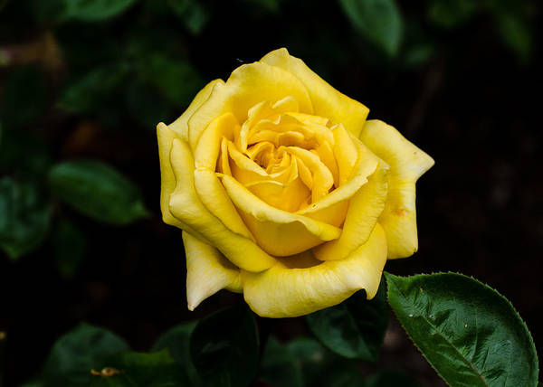 Photograph - Yellow Rose by Tom Potter
