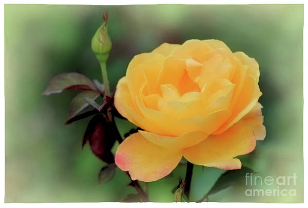 Photograph - Yellow Rose Whisper by Karen Adams