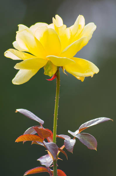 Photograph - Yellow Rose by Willard Killough III