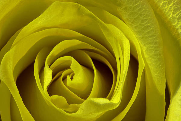 Yellow Rose Art Print by Zev Steinhardt