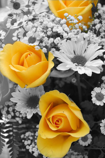 Yellow Rose Photograph - Yellow Roses by Amy Fose