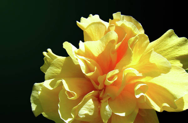 Photograph - Yellow Ruffle Hibiscus Flower by Adam Johnson