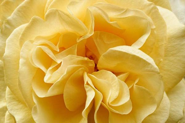 Photograph - Yellow Ruffles - Rose by KJ Swan