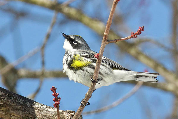 Yellow-rumped Warbler Photograph - Yellow-rumped Warbler 3194 by Michael Peychich