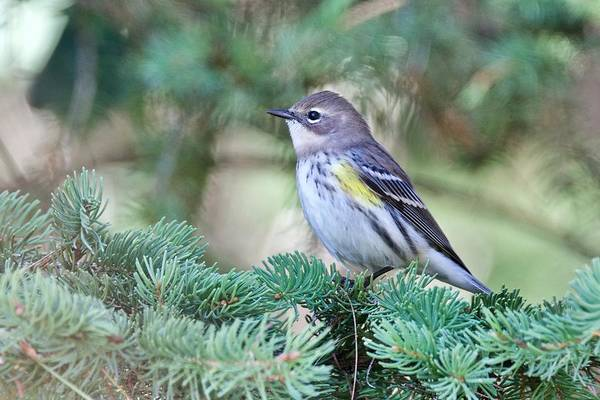 Yellow-rumped Warbler Photograph - Yellow-rumped Warbler by Michael Peychich