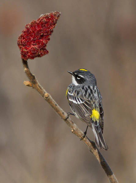 Yellow-rumped Warbler Photograph - Yellow-rumped Warbler by Mircea Costina Photography